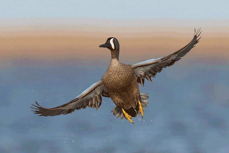 How to Take Sharp and Vibrant Photographs of Ducks in Flight